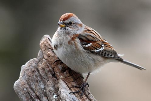 Manitoba Breeding Bird Atlas Atlas Des Oiseaux Nicheurs Du Manitoba