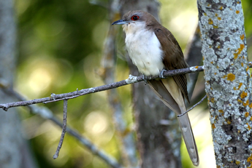 Black-billed Cuckoo, Garry Budyk