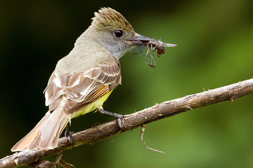 Great Crested Flycatcher, Mark Peck