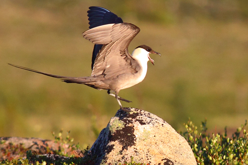 Long-tailed Jaeger, Christian Artuso