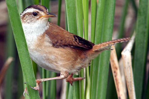 Marsh Wren, Robert Taylor