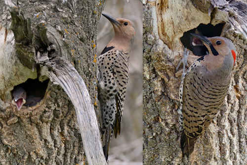 Northern Flicker, Sandra Cote
