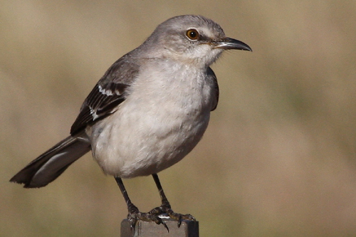 Northern Mockingbird, Bob Shettler