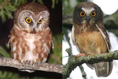 Northern Saw-whet Owl, Christian Artuso