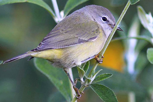Orange-crowned Warbler, Christian Artuso