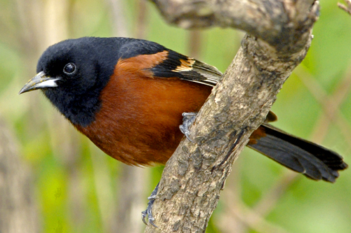 Orchard Oriole, Robert Taylor