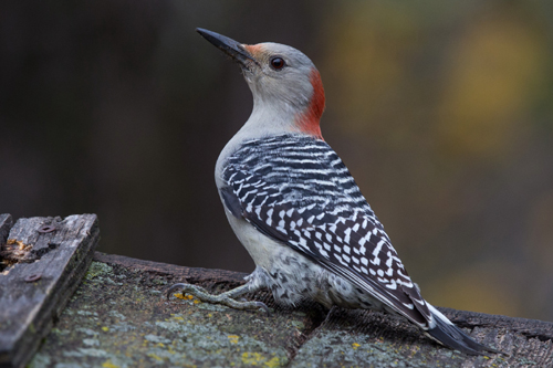 Red-bellied Woodpecker, Bob Shettler