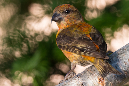 Red Crossbill, Bob Shettler