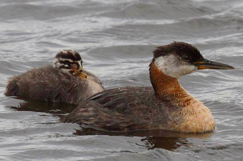 Red-necked Grebe, Christian Artuso