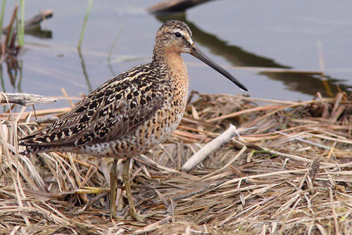 Short-billed Dowitcher, Christian Artuso