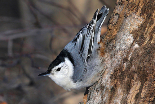 White-breasted Nuthatch, Bob Shettler