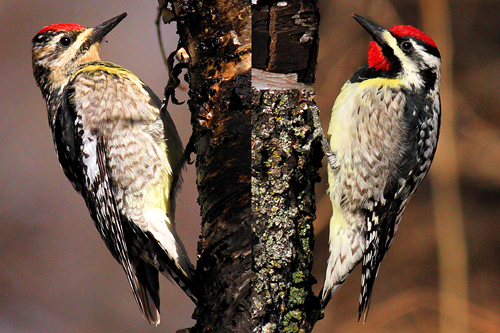 Yellow-bellied Sapsucker, Stuart Oikawa